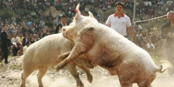 Pigs fighting